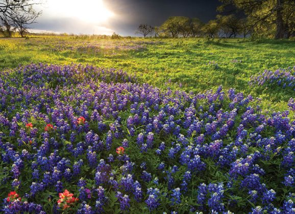 Texas Bluebonnets Beckon