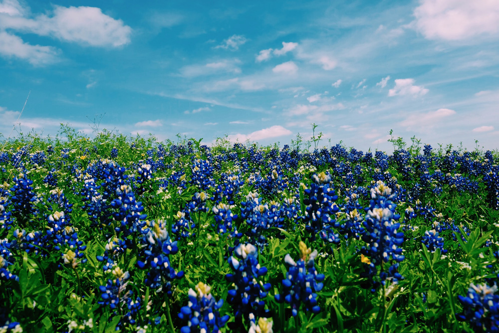 bluebonnet travel guide is here